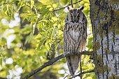 Long-eared Owl (Asio otus) sitting in tree, Lake Neusiedl, Burgenland, Austria, Europe