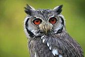 Southern White-faced Owl (Ptilopsis granti), adult, captive, Rhineland-Palatinate, Germany, Europe