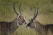 Two male Waterbucks (Kobus ellipsiprymnus) greet one another on the plains of the Maasai Mara, Kenya.