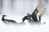 Two Black Grouse (Lyrurus tetrix) lek in a secluded opening in Norway.