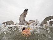Several Dalmatian Pelicans (Pelecanus crispus) lunge for a fish off the shores of Lake Kerkini, Greece.
