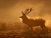 A Red Deer (Cervus elaphus) stag emerges from a wallow pit in the early morning sun in the Peak District National Park, UK.