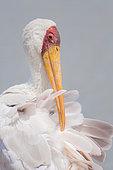 Yellow-billed Stork (Mycteria ibis), Mpumalanga, South Africa