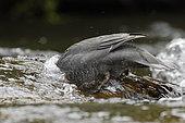 Blue Duck (Hymenolaimus malacorhynchos), New Zealand