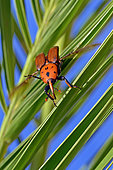 Red palm Weevil (Rhynchophorus ferrugineus) on Canary island date palm (Phoenix canariensis), Summer 2018 Catalonia, Spain. Harmful, Larvae in Date palms imported from Egypt