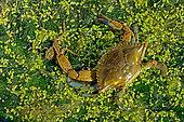 Blue crab (Callinectes sapidus) male catching a Frog. Ebro Delta, Spain. Origin East Coast USA introduced East Atlantic and Mediterranean.