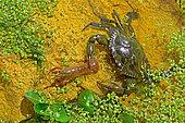 Blue crab (Callinectes sapidus) male catching a Red swamp crayfish (Procambarus clarkii). Ebro Delta, Spain. Origin East Coast USA introduced East Atlantic and Mediterranean.