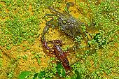 Blue crab (Callinectes sapidus) catching a Red swamp crayfish (Procambarus clarkii). Ebro Delta, Spain. Origin East Coast USA introduced East Atlantic and Mediterranean.