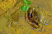 Blue crab (Callinectes sapidus). Ebro Delta, Spain. Origin East Coast USA introduced East Atlantic and Mediterranean.