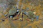 Blue crab (Callinectes sapidus) females at low tide in summer. Ebro Delta, Spain. Origin East Coast USA introduced East Atlantic and Mediterranean.
