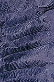 Fossile houiller de Fougère à graines (Alethopteris serlii). Carbonifère 300 à 350 Millions d'Années Fossile végétal du Bassin minier Nord, Pas-de-Calais. Musée d'Histoire Naturelle et de géologie de Lille, Nord, France