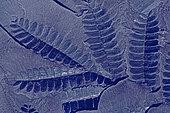 Fossile houiller de Fougère à graines (Linopteris sub-Brongniarti), famille des Pteridospermophytes. Fossile végétal du Bassin minier Nord, Pas-de-Calais. Westphalien. Musée d'Histoire Naturelle et de géologie de Lille, Nord, France