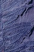 Fossile houiller de Fougère à graines (Paripteris gigantea) Carbonifère, Fossile végétal du Bassin minier Nord, Pas-de-Calais. Musée d'Histoire Naturelle et de géologie de Lille, Nord, France