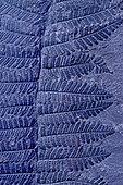 Fossile houiller de Fougère (Pecopteris miltoni). Carbonifère 300 à 350 Millions d'Années Fossile végétal du Bassin minier Nord, Pas-de-Calais. Musée d'Histoire Naturelle et de géologie de Lille, Nord, France