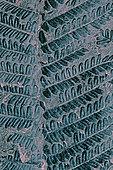 Fossile houiller de Fougère (Pecopteris polymorpha) .Carbonifère 300 à 350 Millions d'Années Fossile végétal du Bassin minier Nord, Pas-de-Calais. Musée d'Histoire Naturelle et de géologie de Lille, Nord, France