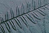 Fossile houiller de Fougère Polypode (Lonchopteris rugosa). Fossile végétal du Bassin minier Nord, Pas-de-Calais. Westphalien B. Musée d'Histoire Naturelle et de géologie de Lille, Nord, France