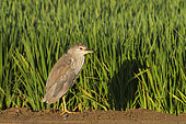 Black-crowned Night Heron (Nycticorax nycticorax). Juvenile. At a low bank of earth between rice fields (Oryza sativa). Environs of the Ebro Delta Nature Reserve, Tarragona province, Catalonia, Spain.