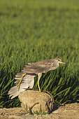 Black-crowned Night Heron (Nycticorax nycticorax). Juvenile. Stretching its wing on a concrete block at the edge of a rice field (Oryza sativa). Environs of the Ebro Delta Nature Reserve, Tarragona province, Catalonia, Spain.