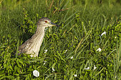 Black-crowned Night Heron (Nycticorax nycticorax). Juvenile. Hunting at a bank slope of a canal. Environs of the Ebro Delta Nature Reserve, Tarragona province, Catalonia, Spain.