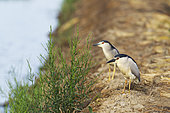 Black-crowned Night Heron (Nycticorax nycticorax). At a low bank of earth at the edge of a rice field (Oryza sativa). Environs of the Ebro Delta Nature Reserve, Tarragona province, Catalonia, Spain.