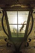 Mediterranean House Gecko (Hemidactylus turcicus). Hunting at night inside a wall lantern. Environs of the Ebro Delta Nature Reserve, Tarragona province, Catalonia, Spain.
