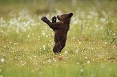 Ours brun (Ursus arctos), Ourson debout de profil sur une tourbière, Finlande