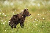 Ours brun (Ursus arctos), Ourson de profil sur une tourbière, Finlande