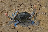 Blue crab (Callinectes sapidus) defense. Ebro Delta, Spain. Origin East Coast USA introduced East Atlantic and Mediterranean.