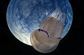 Grande méduse (Rhizostoma pulmo) et planète bleue