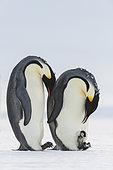 Emperor Penguin (Aptenodytes forsteri) with chick, Queen Maud Land, Antarctica