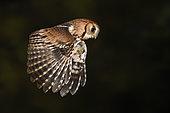 Eastern Screech Owl (Megascops asio) flying, Texas, USA