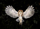 Eastern Screech Owl (Megascops asio) flying with prey, Texas, USA