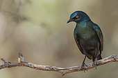 Cape Starling (Lamprotornis nitens), Northern Cape, South Africa