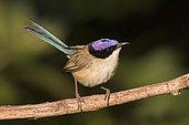 Purple-crowned Fairywren (Malurus coronatus) male, Northern Territory, Australia