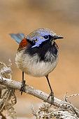 Blue-breasted Fairywren (Malurus pulcherrimus) male, Western Australia, Australia