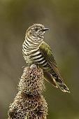 Shining Bronze Cuckoo (Chrysococcyx lucidus), Western Australia, Australia