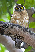 Rufous Owl (Ninox rufa), Northern Territory, Australia