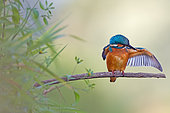 Common Kingfisher (Alcedo atthis) juvenile male, Saxony-Anhalt, Germany