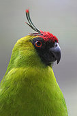 Ouvea Parakeet (Eunymphicus uvaeensis), Australia
