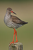 Common Redshank (Tringa totanus) male, Lower Saxony, Germany