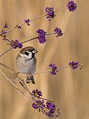 Eurasian Tree Sparrow (Passer montanus), Utrecht, Netherlands