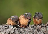 Trois jeunes Petites nyctales (Aegolius acadicus) regardant en l'air dans la même direction, Saskatchewan, Canada