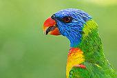 Rainbow Lorikeet (Trichoglossus moluccanus), Queensland, Australia