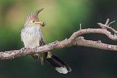 Guira Cuckoo (Guira guira), Bolivia