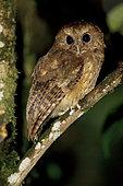 Cinnamon Screech Owl (Megascops petersoni), Abra Patricia Protected Area, Peru