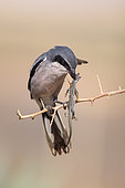 Southern Grey Shrike (Lanius meridionalis) male, Castile-La Mancha, Spain