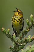 Cape May Warbler (Setophaga tigrina) singing, Manitoba, Canada