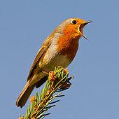 Rougegorge familier (Erithacus rubecula) chantant, Asturies, Espagne