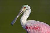 Portrait d'une Spatule rosée (Platalea ajaja), Floride, USA