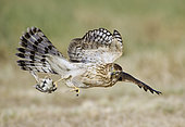 Cooper's Hawk (Accipiter cooperii) flying, Texas, USA